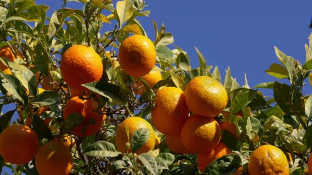 full of mandarin tree in sunny malaga 4k video