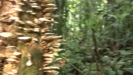 Fungi and fungus gnats on a dead rainforest tree video