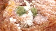 Fungi growing in peach skin video