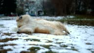 Funny and cute golden retriever dog rolling over on the snow outdoors video