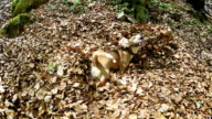 Funny beagle dog swims in autumnal leaves pool video