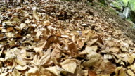 Funny beagle fooling around covered in forest fallen leaves video