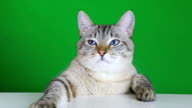 Funny cat sitting at the table and shakes his head video
