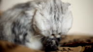 Funny cat washes after a shower video