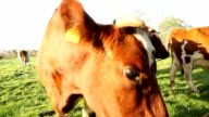 funny cow video