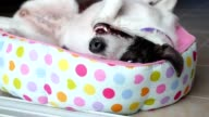 Funny Cute Dog Relaxing in Bed video