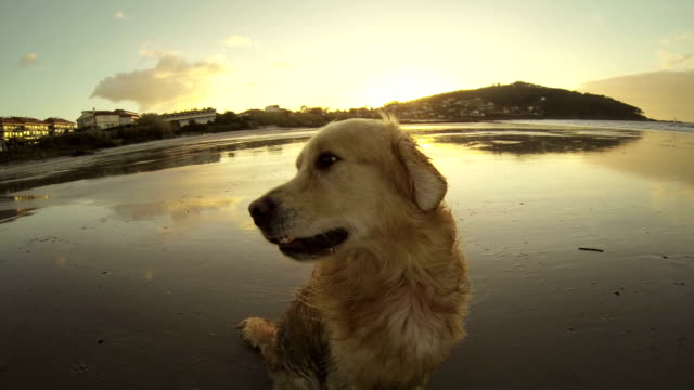 Funny dog by the eea at sunset video