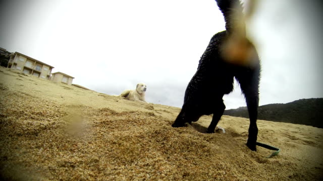 Funny dog digging on the beach video