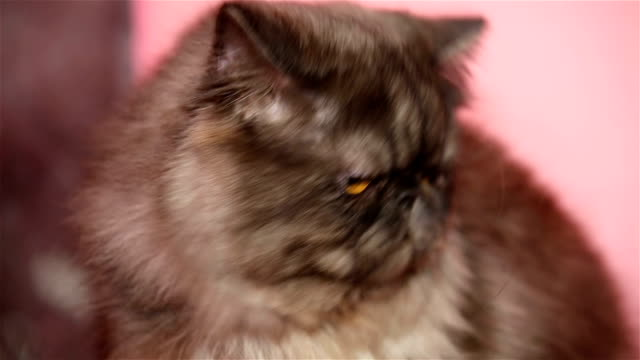 Funny fluffy cat Persian breed. video