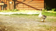 Funny goose stands in the middle of the farm yard and turns his head looking around video