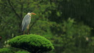 Funny grey heron stretching his neck during a rainstorm video