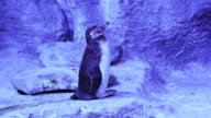 Funny Humboldt penguin trying get to sleep stock footage video video