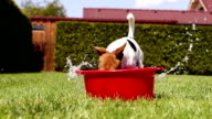 Funny Jack Russell takes a bath on the home green grass yard video