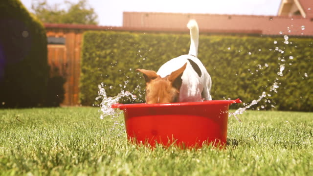 Funny Jack Russell terrier cools off in a bowl of water on a hot day video