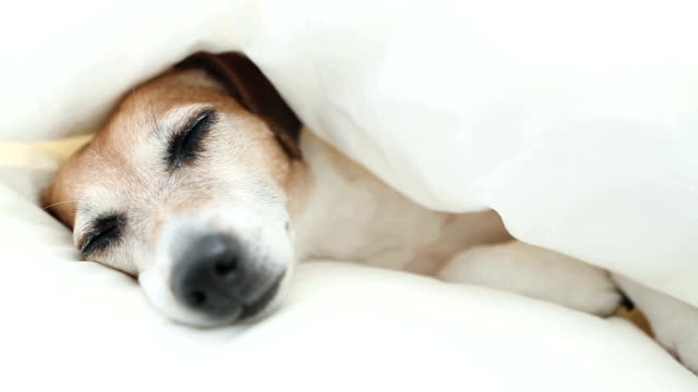 Funny lovely doggy sleeping on the white bed. video