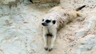 Funny Meerkat video