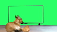 funny red dog and guinea pig watching television video