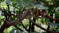 Funny Squirrel monkey on tree branches video