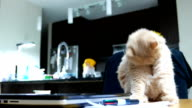 Funny way of persian cat cleaning her body on table video