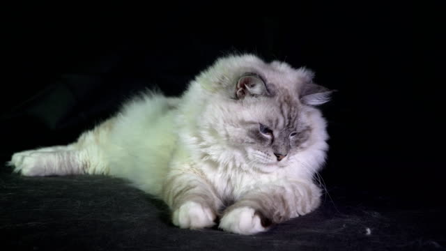 funny white fluffy blue-eyed cat monitors the laser beam video