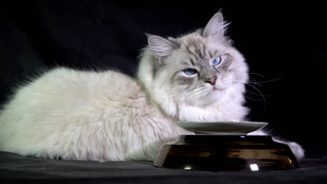 funny white fluffy blue-eyed cat waiting for food video