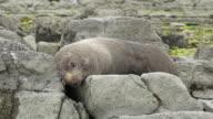 Fur Seal video