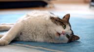 Furry cute cat laying down on the carpet. video