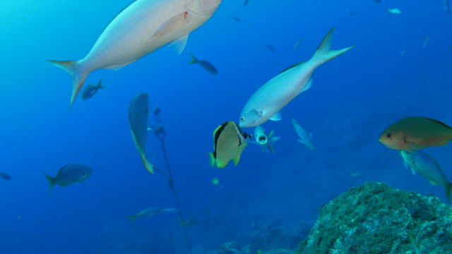 Fusilier fish was cleaned by Butterflyfish video
