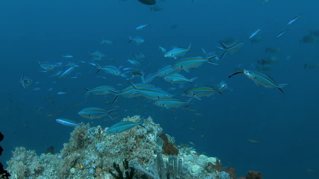 Fusiliers use the services of small wrasse at cleaning station video