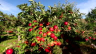Gala Apple Orchard video