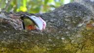 Galah in a eucalyptus tree - Rosakakadu - Eolophus roseicapilla video