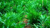 Galangal plants farm video