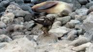 Galapagos Hawk Wait For Something video