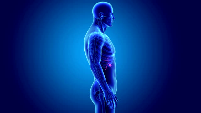 Gallbladder with Skeleton video