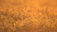 Garbanzos at Golden Hour video