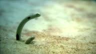 Garden eels A PAL video