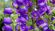 Garden flower, like a bell video