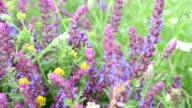 Garden sage flowers filling the frame video