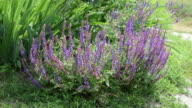 Garden sage with bees on it video