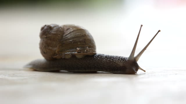 Garden Snail trailing video
