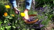 Gardener collecting lavender video