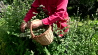 Gardener collecting mint lemon balm in the garden video
