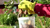 Gardener collecting rotten pears video