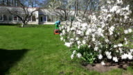 Gardener cut lawn with grass mower near spring blooms. FullHD video