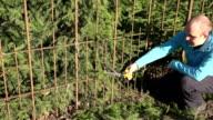 gardener cut small fir branch with garden secateurs. video