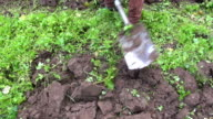 Gardener digging up soil with green fertilizer video