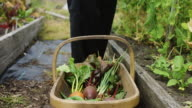 Gardener Dropping Pea Pods into Basket video