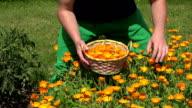 gardener guy hands gather marigold herb flower bloom to wicker basket. FullHD video