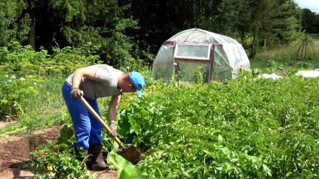 Gardener guy harvest dig fresh natural potatoes in garden. FullHD video