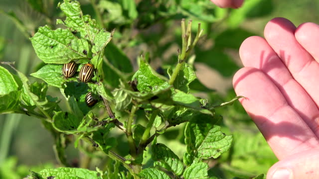 Gardener hand pick colorado beetles bugs parasite insect from potato plants in garden. Closeup. FullHD video